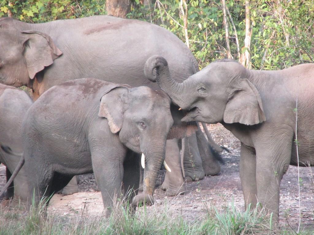 elefanti kao yai 77