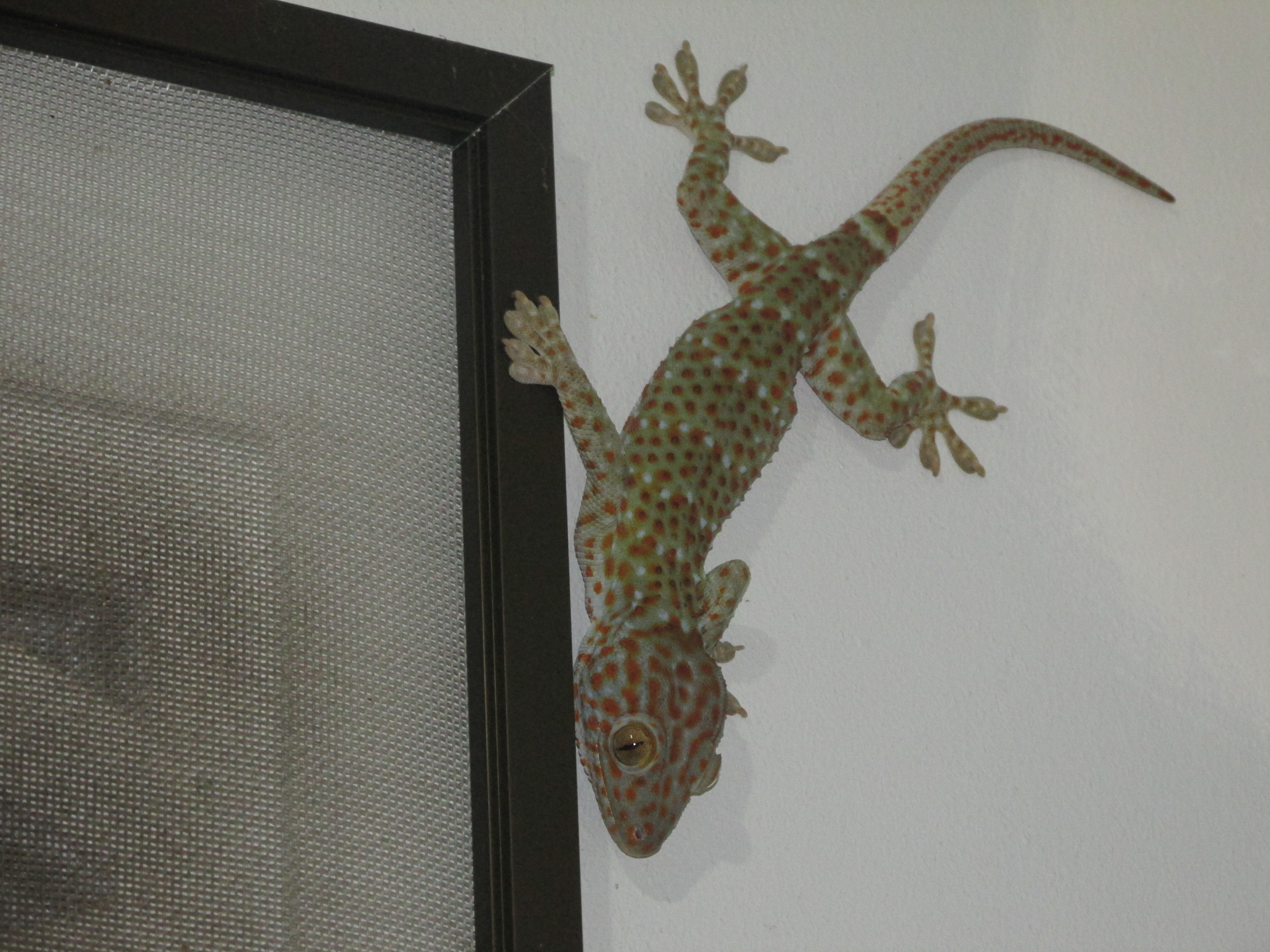 ko phangan big gecko