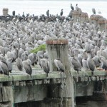 Oamaru birds