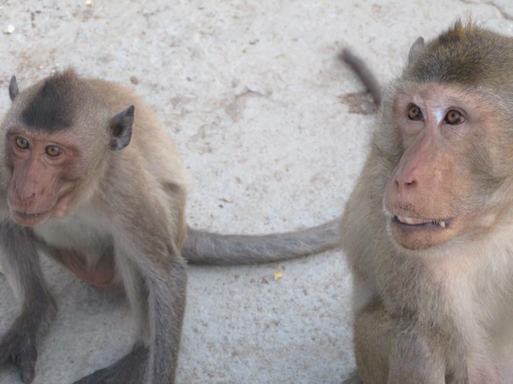 prachuap 020 monkey