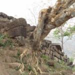 Wat Phu albero