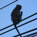 tang kuan monkey
