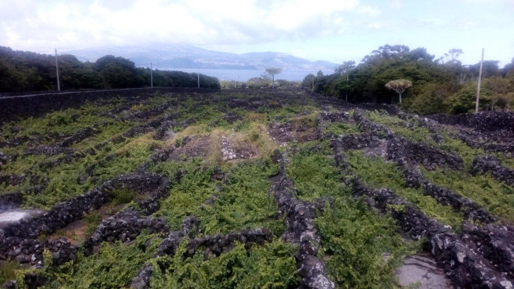 I currias, le vigne vulcaniche di Pico